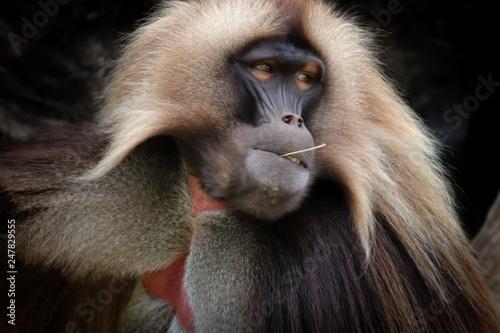 Photo Male Gelada Baboon is posing