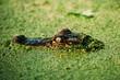 Close up of alligator in Audubon Swamp Garden