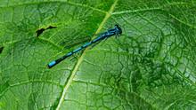 Blue Damselfly Coenagrionidae On Green Leaf, Macro, Selective Focus, Shallow DOF