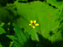 Small Yellow Flower Of Wood Avens Or Geum Urbanum With Bug Close-up, Selective Focus, Shallow DOF