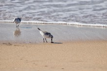 Sanderling Bird Eating A Sand Crab On The Shore
