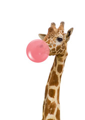 Fototapeta Żyrafa giraffe with bubble gum