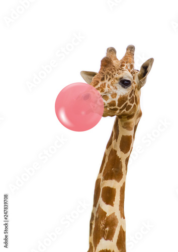 Photo  giraffe with bubble gum
