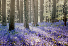 Hallerbos Bluebells Forest, Be...