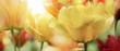 canvas print picture - tulpen gelb rot licht strahlen