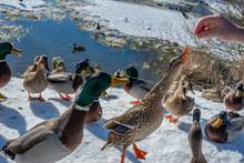 A Flock Of Wild Ducks - Anas Platyrhynchos