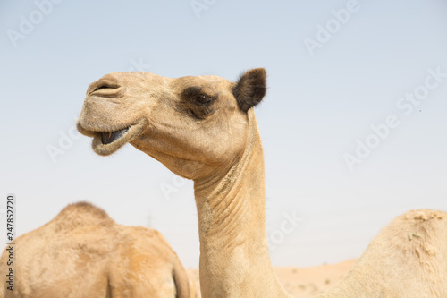 Spoed Fotobehang Kameel wild camels in the hot dry middle eastern desert, desert animals in an arid landscape.