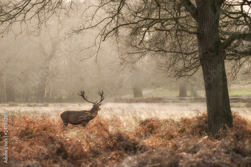 Wall Murals Bestsellers Beautiful red deer stag Cervus Elaphus with majestic antelrs in Autumn Fall froest landscape