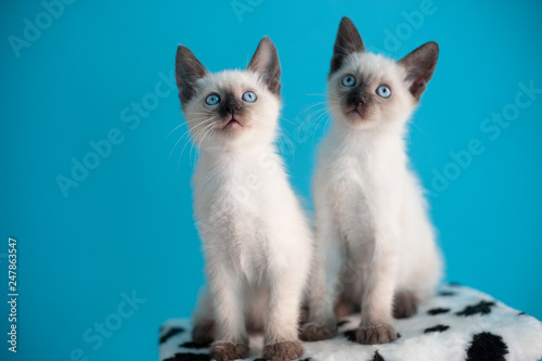 Foto  Two  blue-eyed Siamese kitten on a blue background.