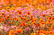 canvas print picture - blooming desert in spring of namaqualand, south africa