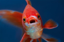 Portrait Of Red Fish With Open Mouth On Blue Background Selective Focus, Front View Of Aquarium Goldfish, Macro Close Up, Surprised Or Amazed Face
