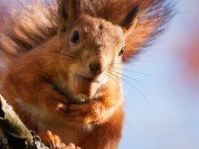 A Red Squirrel With An Acorn