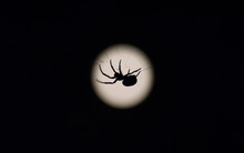 A Silhouette Of A Spider On Its Web In Front Of The Moon