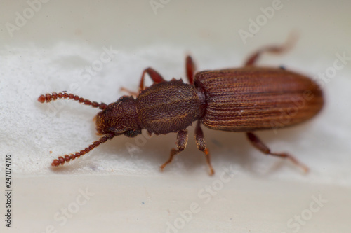 Leinwand Poster Merchant grain beetle in white background view from side