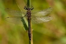 Downy Emerald (Cordulia Aenea) Dragonfly, Lod Lake, Aosta Valley, Italy, Europe