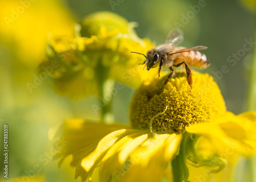 In de dag Bee Honey Bee (Apis mellifera) about to take flight from a yellow Helenium flower