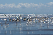 Sharp Image Of Brown Pelicans And Other Marine Birds At A Pacific Ocean Beach In Panama.