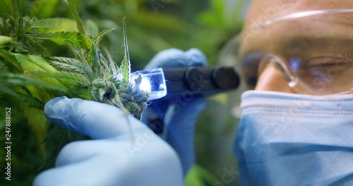 Fototapeta Portrait of scientist with mask, glasses and gloves checking hemp plants in a greenhouse. Concept of herbal alternative medicine, cbd oil, pharmaceptical industry obraz