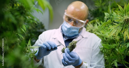 Fotografia  Portrait of scientist with mask, glasses and gloves checking hemp plants in a greenhouse