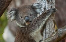Koala Bear In Eucalyptus Tree, Portrait