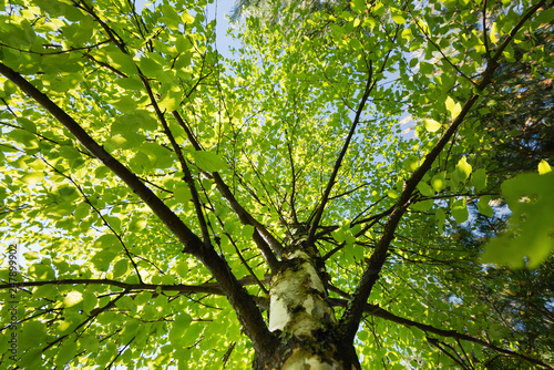 Fototapety, obrazy: Birch tree with young leaves, view from below
