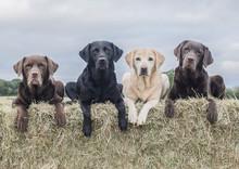 Labradors Having Fun