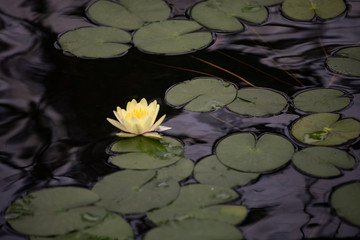 water lily in pond 1