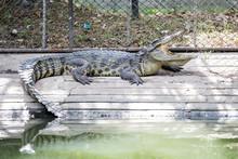 Crocodile Sunbathing In The Zo...