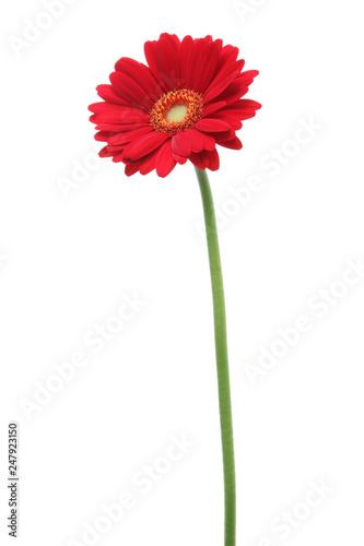 赤色のガーベラ Fototapet