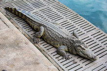 Crocodile Sunbathing In The Zoo.Freshwater Crocodiles Are Lying At The Edge Of The Pond.
