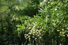Branches Of Sophora Japonica W...