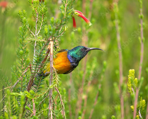 Orange breasted Sunbird after feeding on a flower of an erica bush Wallpaper Mural