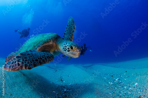 Poster Tortue Sea turtle resting in the reefs of Cabo Pulmo National Park. Baja California Sur,Mexico.
