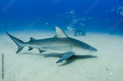 Fotografie, Obraz  Bull Shark (Carcharhinus leucas)