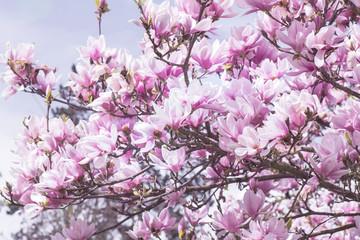 NaklejkaMagnolia tree in flowers