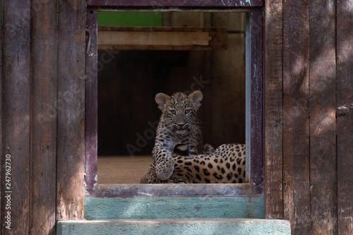Plakat lampart cub w zoo