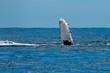 Leinwandbild Motiv humpback whale slapping fin in cabo san lucas