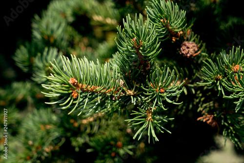 Picea abies Pachyphylla - gemeine Fichte Canvas Print