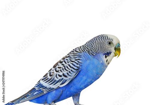 Blue Budgerigar on white background Fototapeta
