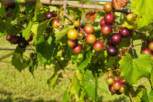 Muscadine Fruit Vine Growing I...