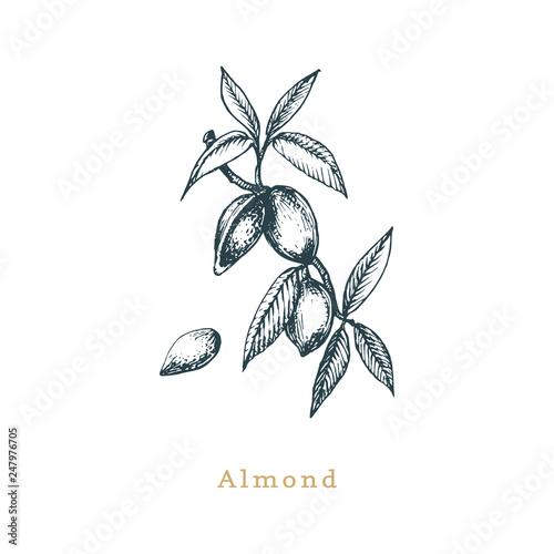Fotografia Botanical illustration of almond branch