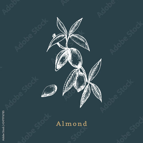 Botanical illustration of almond branch Poster Mural XXL