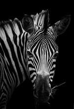 Zebra Fine Art Portrait