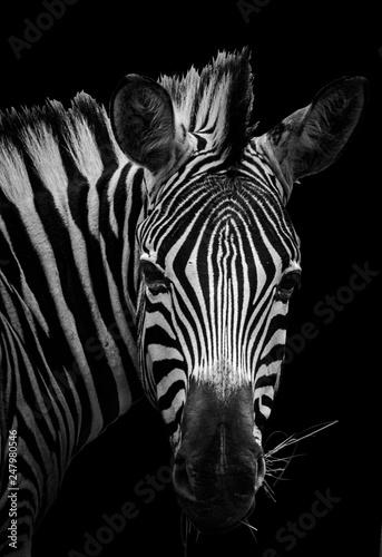 Poster de jardin Zebra Zebra fine art portrait
