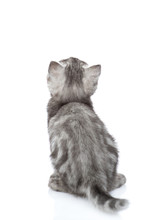 Scottish Kitten In Back View Looking Up. Isolated On White Background
