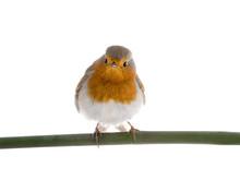 European Robin (Erithacus Rube...