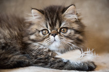 Beautiful Persian Kitten Cat Marble Color Coat Is Playing With White Feather