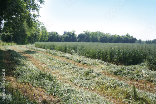 Fotobehang Olijf Harvesting green Oat field in the italian countryside