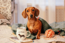 Dachshund On The Bed, Home Com...