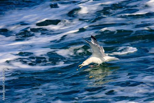Foto op Aluminium Dolfijn a seagull gliding in the West Sea